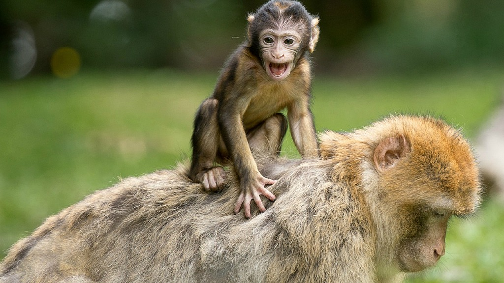 Barbary macaque with baby (photo courtesy of Pixabay)