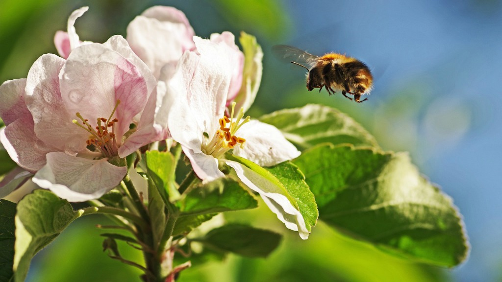 Bumblebee and apple blossom (photo courtesy of Pixabay)