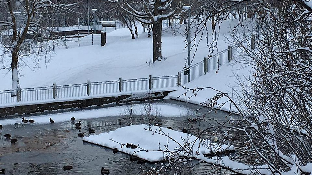 Ducks and geese in Akureyri, Iceland, during the city's snowfall of November 4 (photo by Kara Manning)