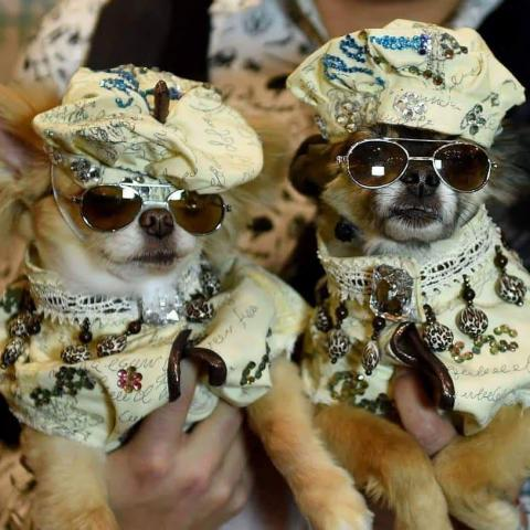little dogs in costumes