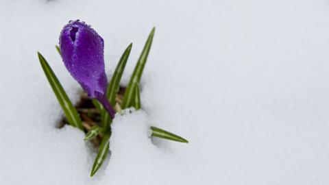 crocus-snow