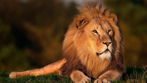 Lion (photo by Robert Greene for Pixabay)