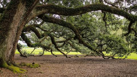old-oak-tree