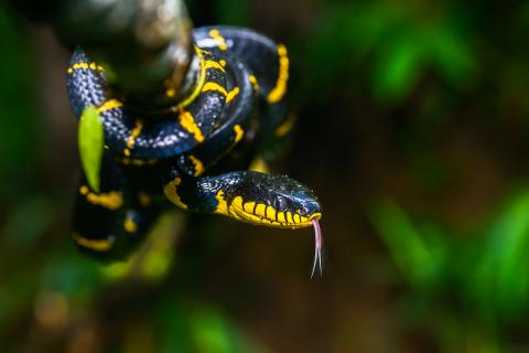 The mildly venomous, Black and Yellow Mangrove Snake