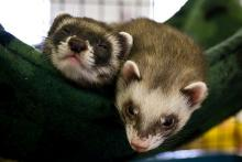 NYC Maintains Ferret Ban