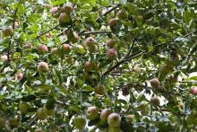 Agency: Number of NY Apple Trees on the Rise