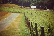 NY Wine Crop High in Quality, Lower Yield