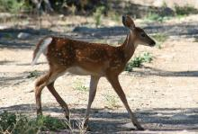 NJ DEP Issues Warning about Virus Infecting Deer