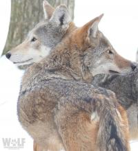 Charlotte and Jack are a pair of red wolves at the WCC