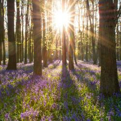 Forest bluebells in England (photo by Greg Krycinski for Pixabay)