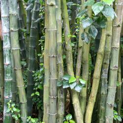 Conn. Studies Bamboo: Pest or Effective Screen?