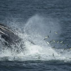 Humpback Whales Flock to New York City Waters