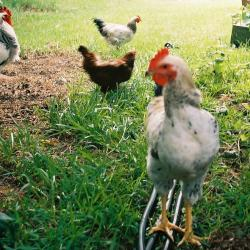 Long Island Resident Must Get Rid Of Pet Chickens